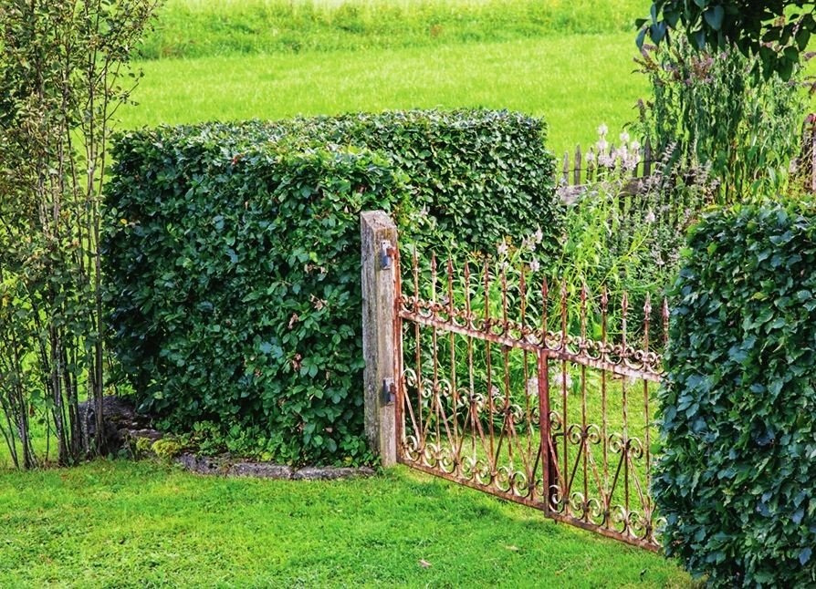 Живые изгороди своими руками на даче фото